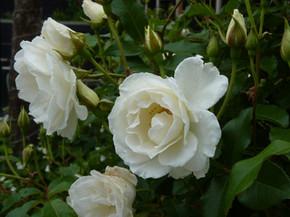 White rose standards Iceberg