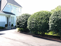 Giant topiaried camellias along the driveway