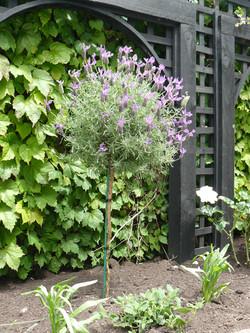 Lavender standard Lavandula stoechas