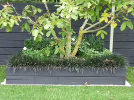 Existing Walnut Tree edged with Black Mondo Grass