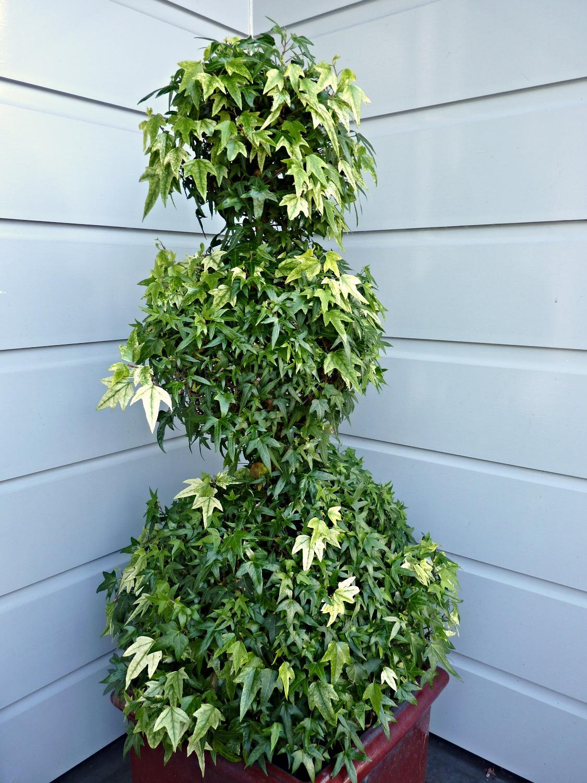 Triple Ivy Pompom