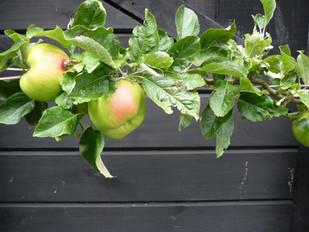 Apple espalier