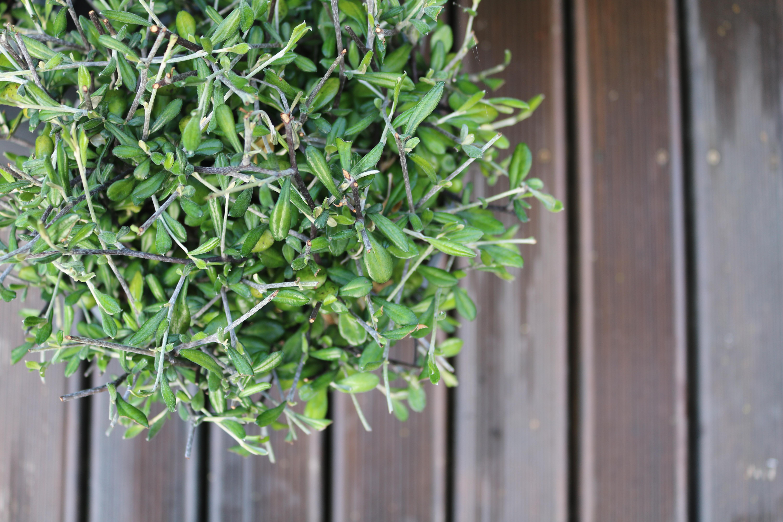 NZ corokia topiary balls