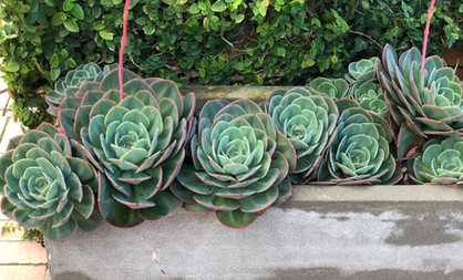 Textured succulents are perfect in pots