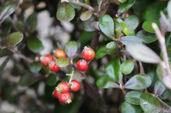 """Corokia """"Frosted Chocolate"""" berries"""
