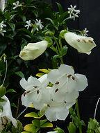 Summer flowering Penstemon White Swan