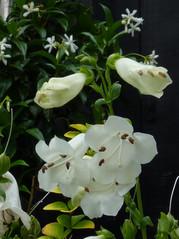 White summer flowering Penstemons