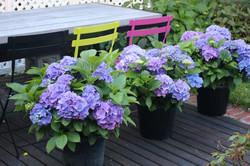 Purple & blue hydrangeas