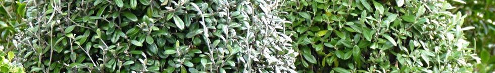 Topiary cones in Buxus & corokias