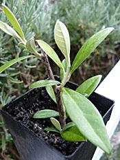 Green Corokia