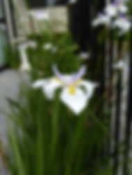 Wild Iris Dietes grandiflora