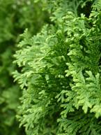 Thuja columns - textured evergreen foliage
