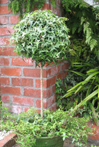 Twisted Ivy Standarda against large brick retaining wall