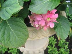 Hydrangeas in a classic urn
