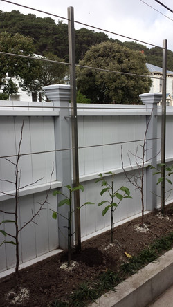 Contemporary pleached tree system