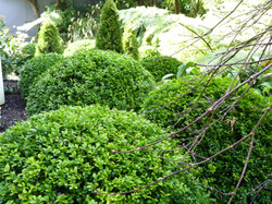 Buxus Care