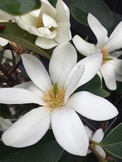 White flowering Michelia