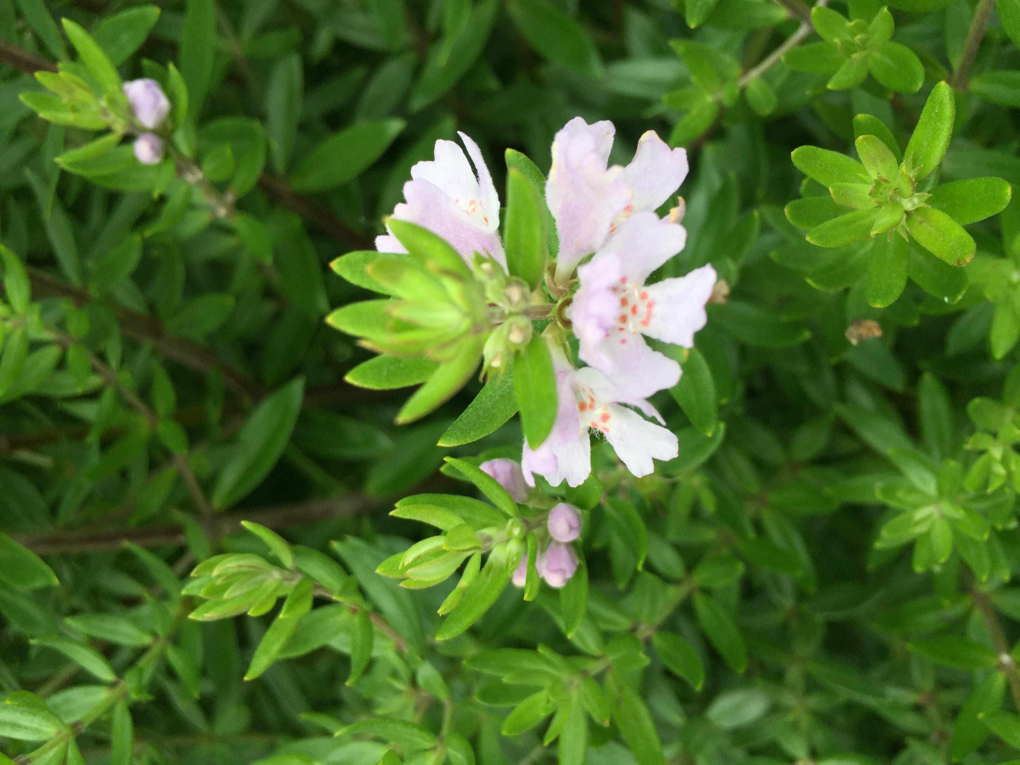 "Westringia ""Aussie Box"" flowers"