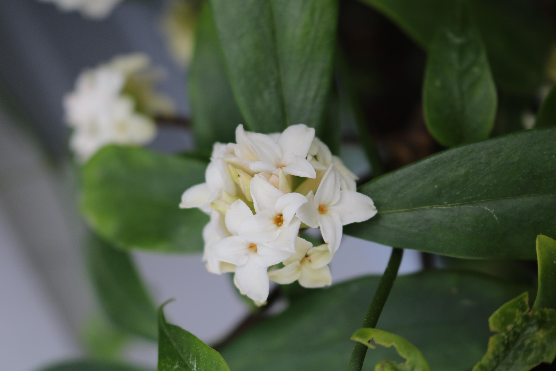 Fragrant white Daphne flowers