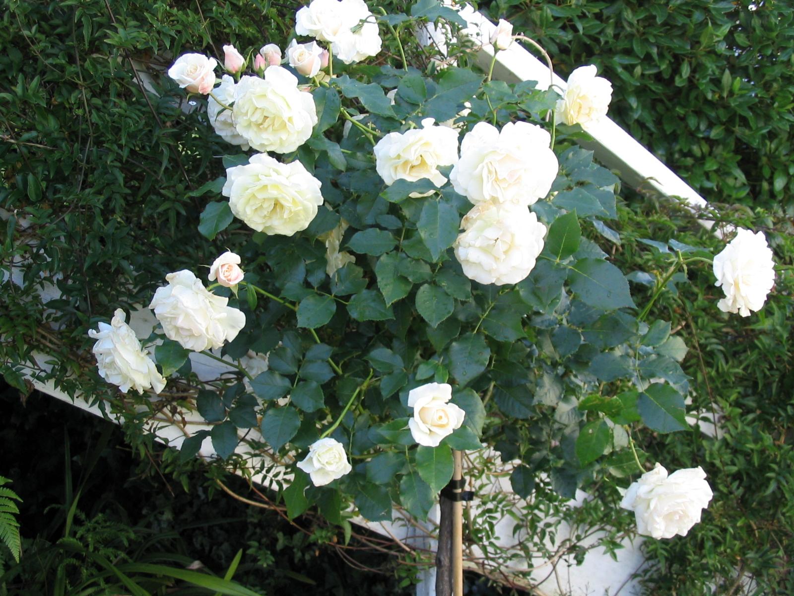 White rose standards