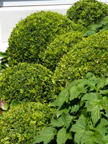 Mixed Boxwood | Buxus balls in different size