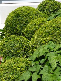 Mixed boxwood | Buxus topiary balls