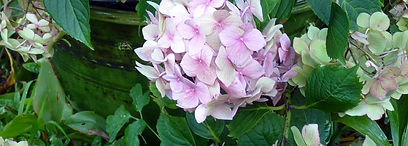 Big beautiful hydrangeas in white, blue and pinks