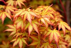 Japanese Maple, Acer palmatum