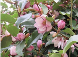 Michelia Fairy Pink Magnolia