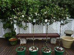 Camellia standards