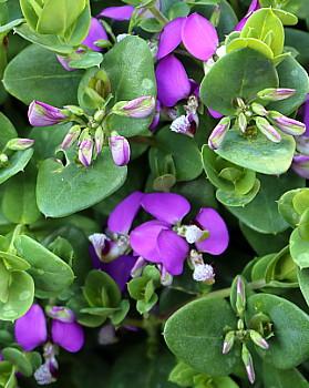 Polygala Petite Butterfly flowers