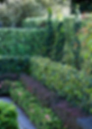 Layered hedges incl black Manuka