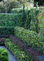 Layered hedges incl black Manuka