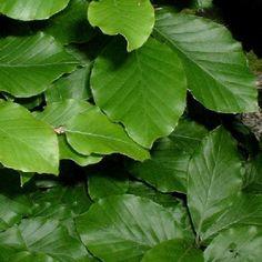 Green Beech column leaves