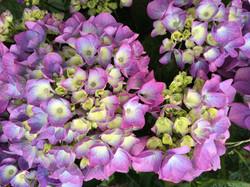 Shades of blue - pink hydrangeas
