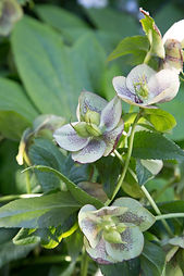 Winter flowering Hellebore & Lenton Roses