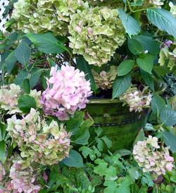 Hydrangeas changing season