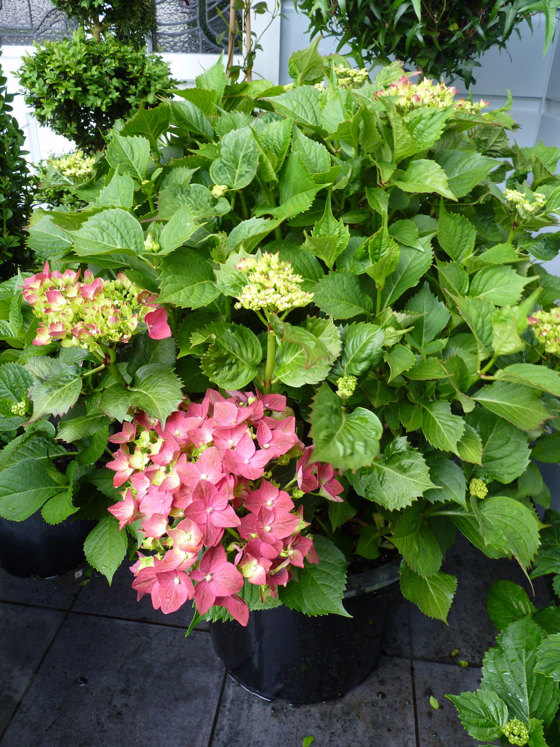 Deep pink - red hydrangeas