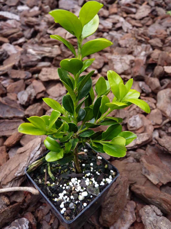 Boxwood | Buxus hedge grades