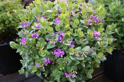 Purple flowering balls
