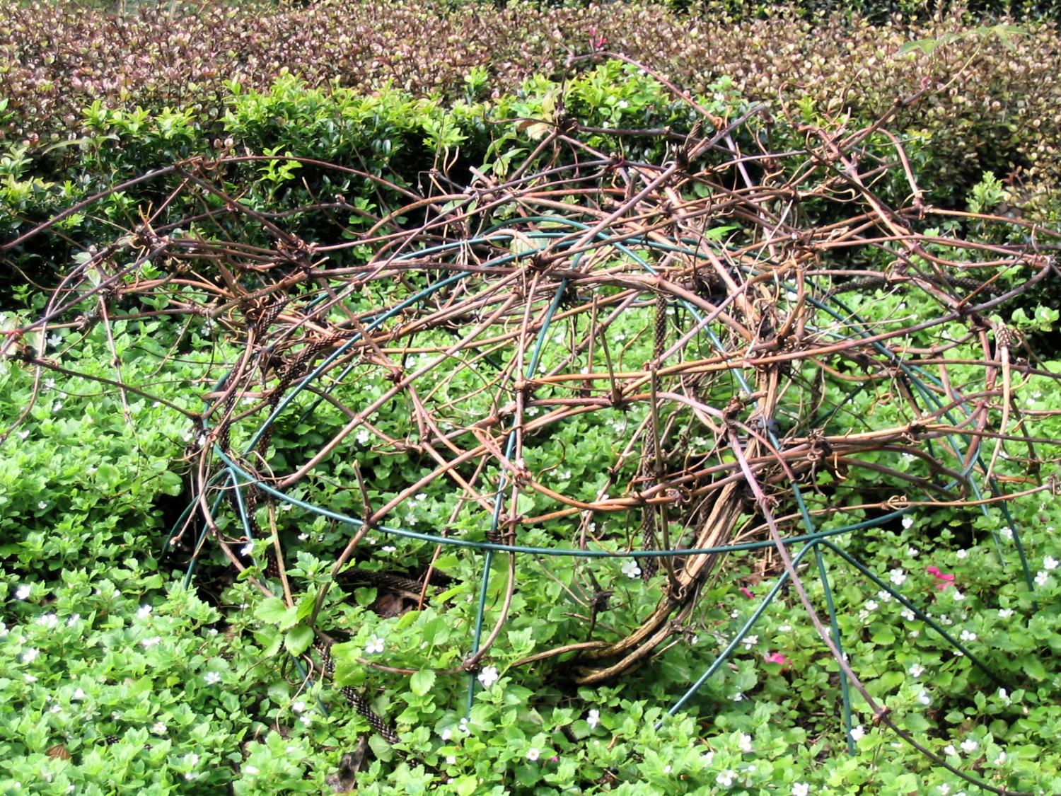 Wire domes of ruby clematis montana