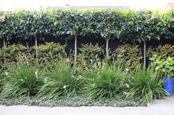 Portuguese Laurel hedge on stilts