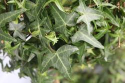 Ivy leaf detail