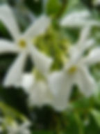 Fragrant white summer flowering Chinese Star Jasmine