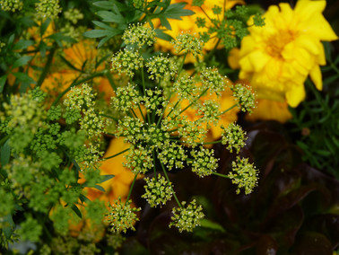 Parsley & marigolds