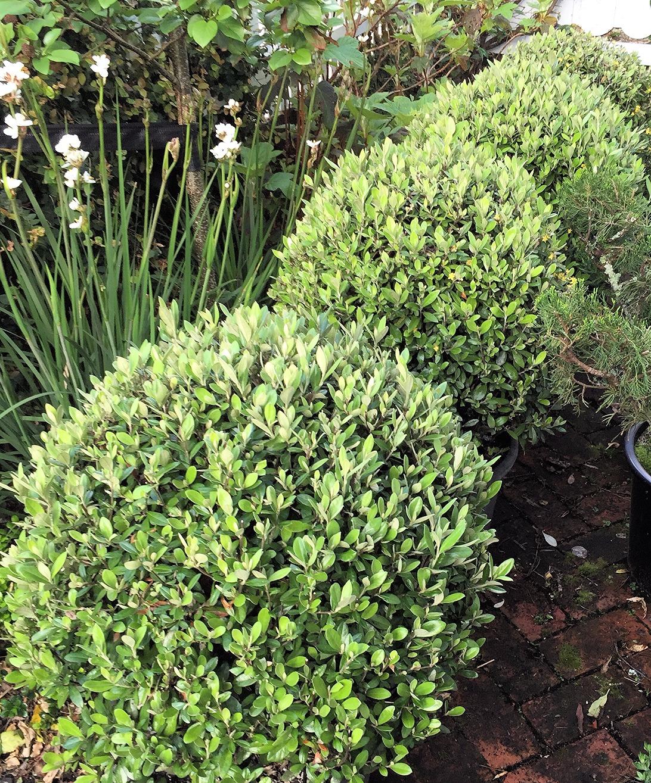 Corokia Geentys Green topiary balls
