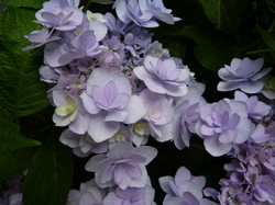 Hydrangea You & Me Forever