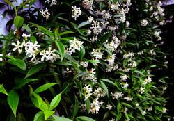 Wall of Chinese Star Jasmine