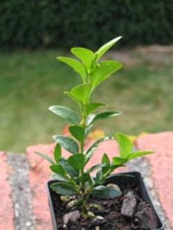 Buxus sempervirens aka boxwood