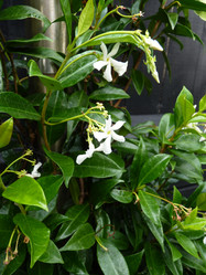 Chinese Star Jasmine Trachelospermum jasminoides